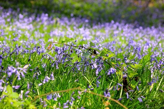 Haywards Heath, UK: woodland bluebells