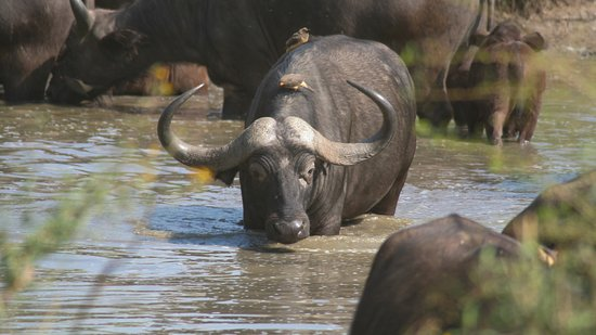 Kilimanjaro Region, แทนซาเนีย: It was good safari know africa safaris take us there seeing many buffalo in a river.