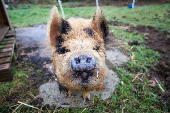 Commana, Frankrike: Rencontre avec notre cochon!