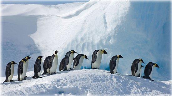 Bako National Park, ماليزيا: Emperor penguins on Snow Hill Island, Antarctica