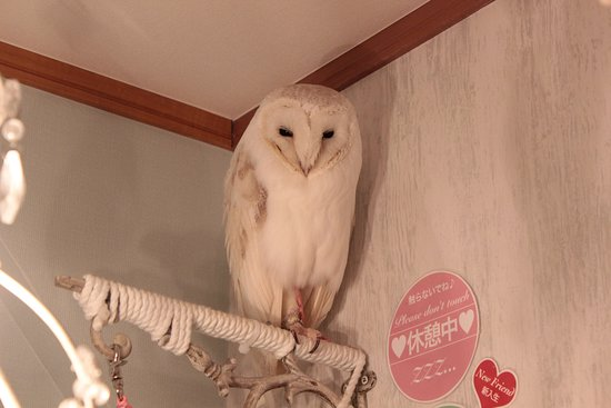 one of the cutest owls picture of owl cafe akiba fukurou chiyoda
