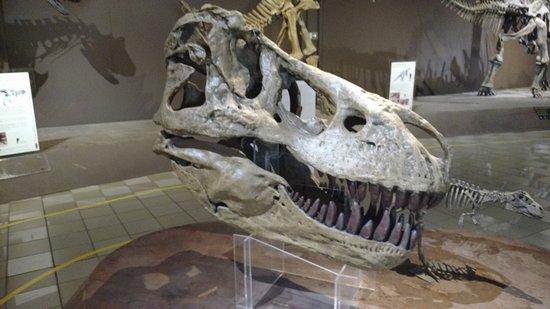 Natural Sciences Museum: Replica do cranio do Tiranossauro Rex.