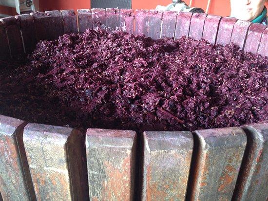 Villanova d'Asti, Italy: Harvest time - grapes ready for grappa
