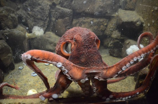 Seaside, OR: Two of the three octopuses didn't move at all while we were there, but this one was very active.