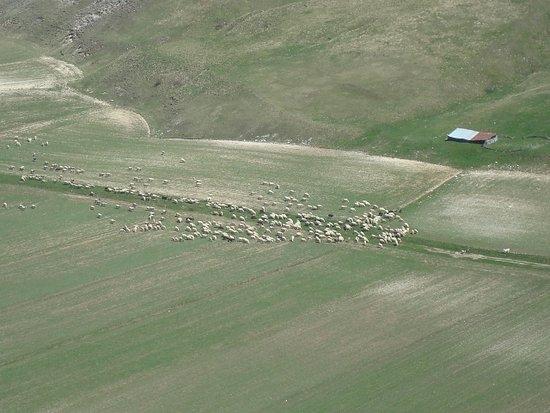 Piana di Castelluccio di Norica: Gregge di pecore