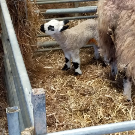 St Austell, UK: Baby lamb