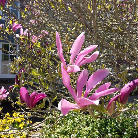 St Austell, UK: Magnolia