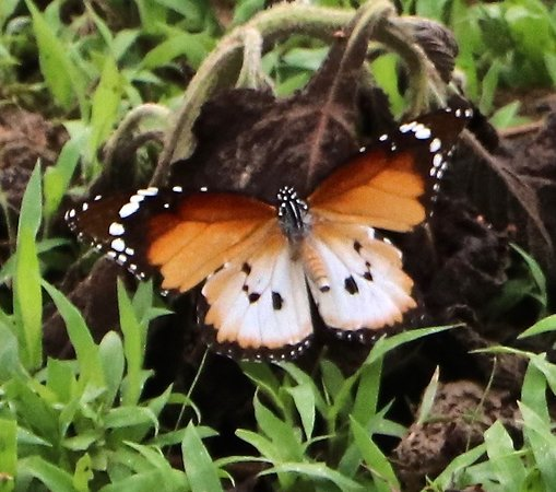 Mole National Park, Ghana: Butterfly in the morning