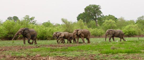 Mole National Park, غانا: Safari male elephants. amazing.