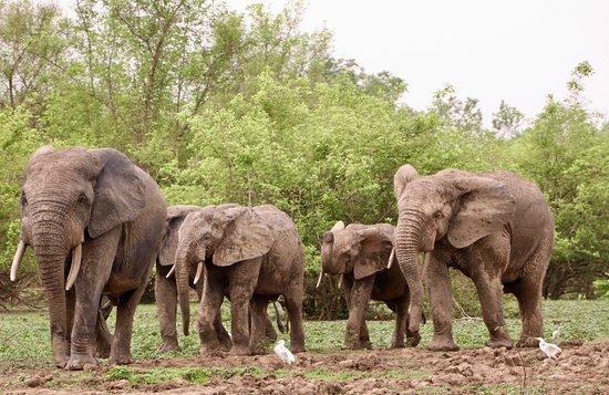 Mole National Park, غانا: Elephants heading to the watering hole.