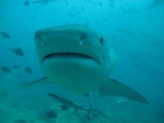 Beqa Island, Fiji: Tiger Shark