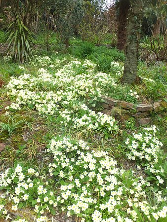 St Austell, UK: Pretty primroses