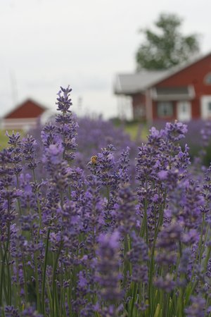 New Life Lavender & Cherry Farm