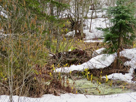 Skunk Cabbage Boardwalk: Even through ice and snow, the skunk cabbage is ready to pop for spring