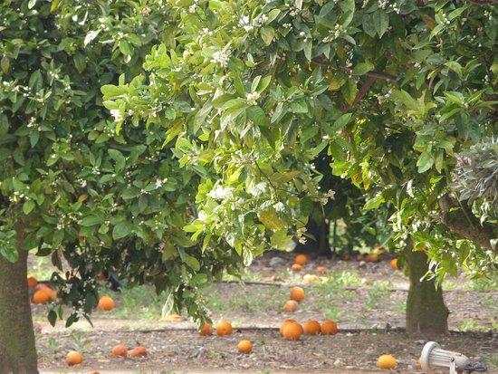 Agroturismo Ibiza Can Jaume: parmi des centaines d'orangers