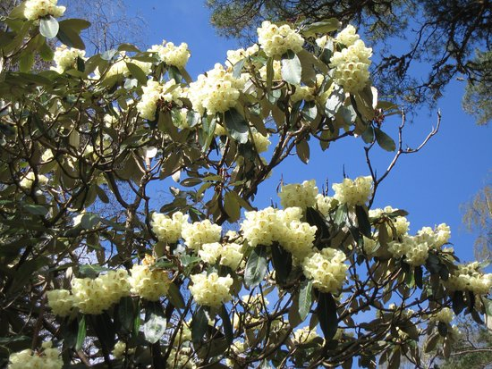 Poolewe, UK: WHITE RHODODENDRON IN APRIL