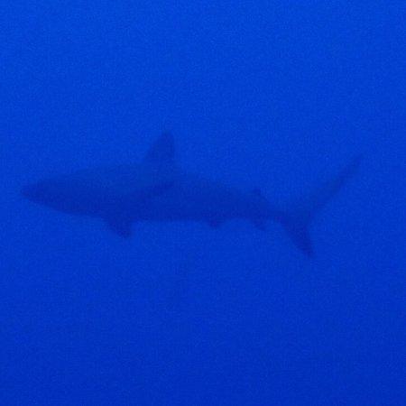 Saba Divers: Shark