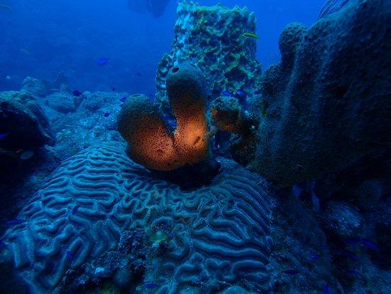 Saba Divers: Corals