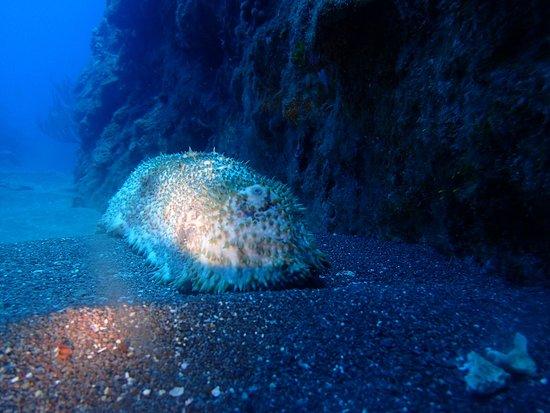 Saba Divers: Cuncumber