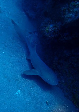 Saba Divers: Nurse shark
