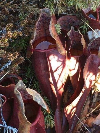 West Dover, Kanada: A pitcher plant