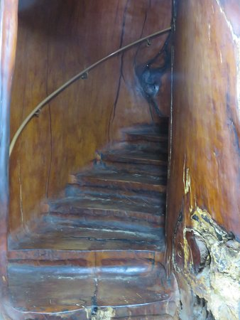 Awanui, New Zealand: Staircase hollowed out of kauri trunk