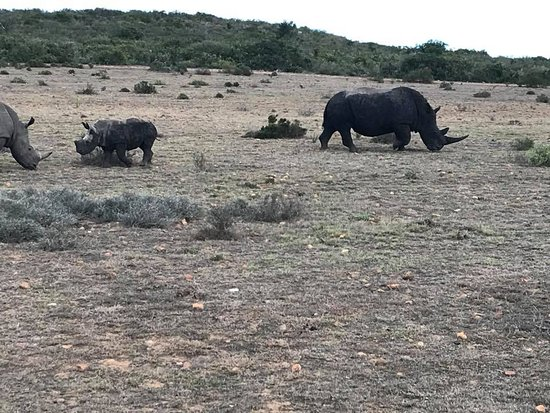 Garden Route Game Lodge: The highlight - wild rhino's.