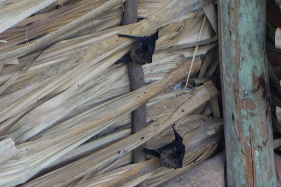 Ruinas de Coba: Bats resting in the roofing of one of the ruins