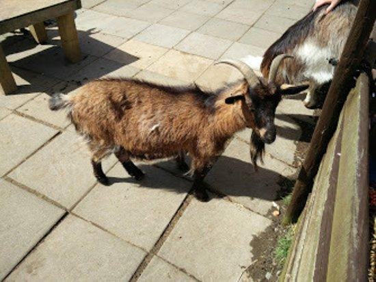 Borth Wild Animal Kingdom: Dwarf goat