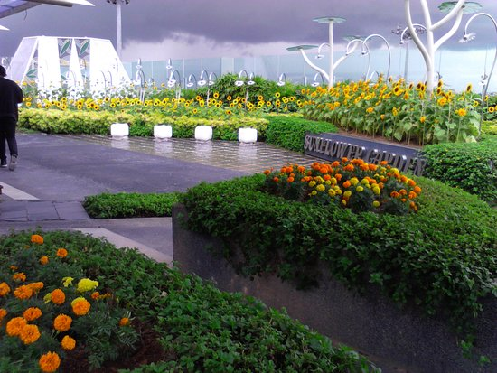 real sunflowers picture of sunflower garden singapore tripadvisor