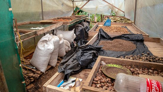 Santiago de Puriscal, Costa Rica: Cocoa beans drying