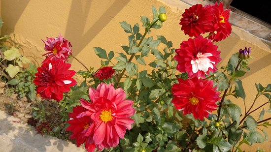 Chitwan District, Nepal: Dahlias
