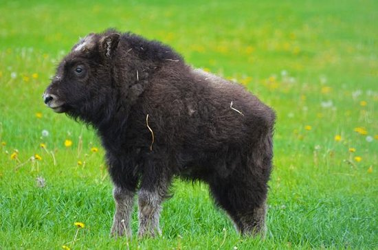 Mountains and Musk Ox of the Mat-Su...