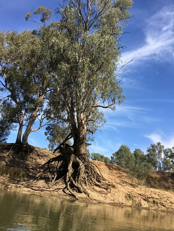 Kyabram, ออสเตรเลีย: Some of the trees along the banks don't seem to have their roots in the soil!