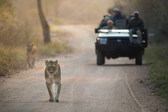 Kapama Southern Camp : Kapama Game Drive - Big 5 - Lion