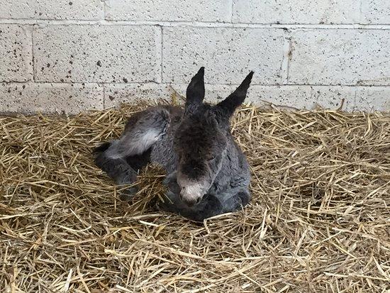 Our latest addition to Raglan Farm Park, a baby boy donkey!