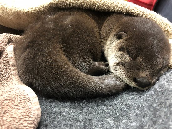 Brockville, Canada: One of the new otter pups having a nap.