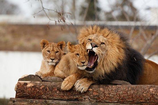 เฟรเดอริคเบิร์ก, เดนมาร์ก: Løver, Zoologisk Have