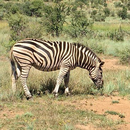 Pilanesberg National Park, Güney Afrika: photo3.jpg