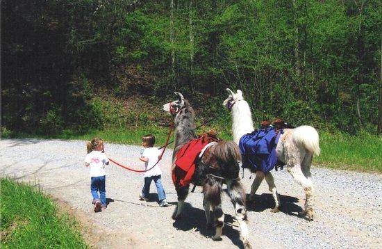 Greeneville, TN: Easy to lead llamas!