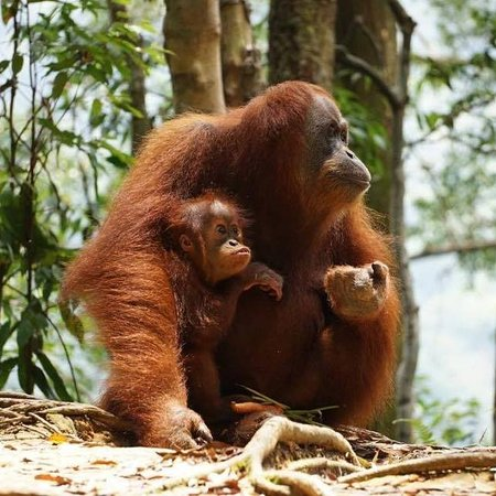 Bukit Lawang, إندونيسيا: Sumatra Orangutan Trip 7