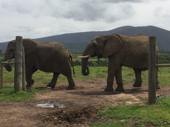 Knysna Elephant Park: Two male elephants