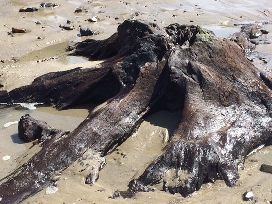 Cape Lookout Bed n Breakfast: Tree stump at Cape Lookout State Park April 2018