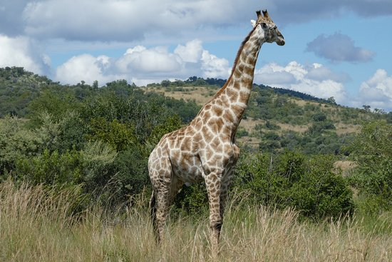 Pilanesberg Safaris and Tours: Giraffe close up and personal near to our vehicle