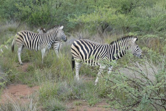 Pilanesberg Safaris and Tours: Several zebras located throughout the park