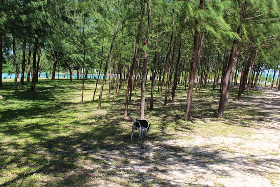 Daet, Filipinas: with pine trees