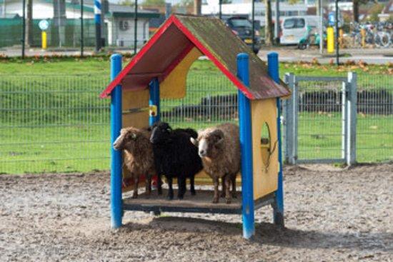 Kinderboerderij Diemen = Schapen en Ram