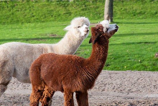 Kinderboerderij Diemen = Alpaca's (Robin -wit en Koko -bruin)