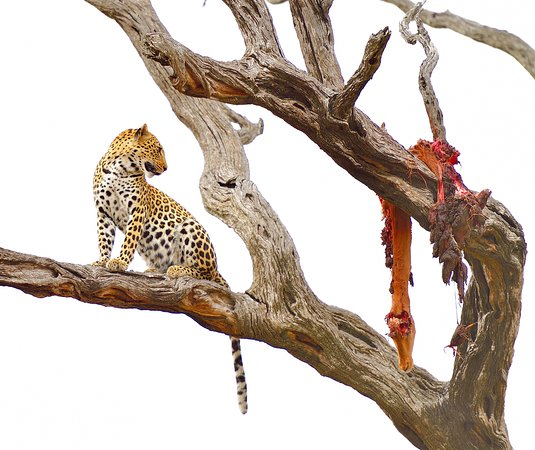 Londolozi Private Game Reserve, South Africa: Leopard