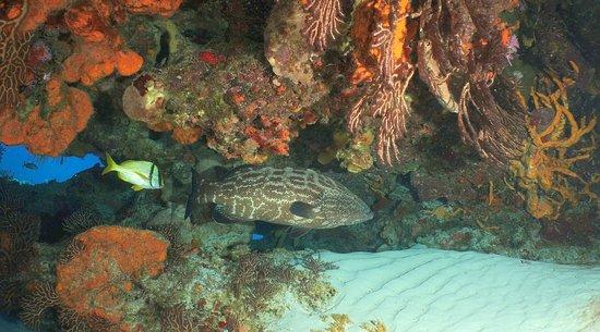 Palancar Reef: Large grouper and Pork fish,